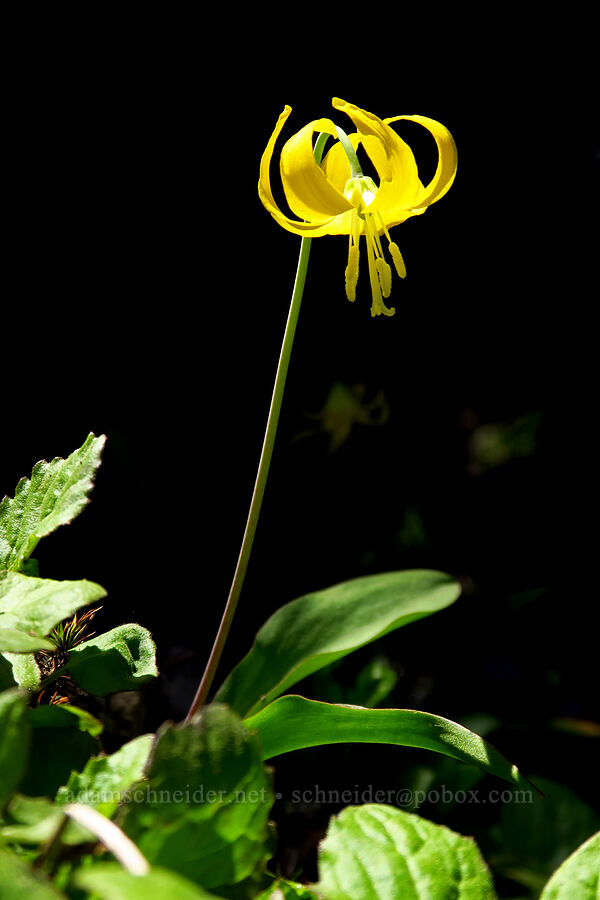 glacier lily (Erythronium grandiflorum) [Mt. Aix Trail, William O. Douglas Wilderness, Washington]