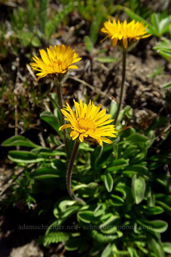 golden fleabane (Erigeron aureus) [Mt. Aix Trail, William O. Douglas Wilderness, Washington]