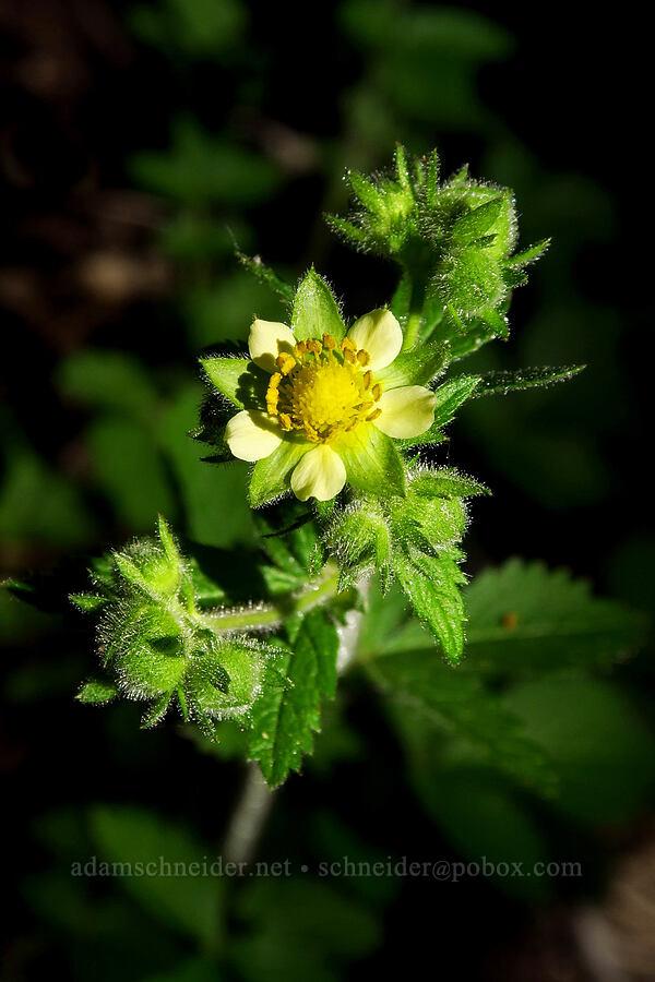 sticky cinquefoil (Drymocallis glandulosa (Potentilla glandulosa)) [Mt. Aix Trail, William O. Douglas Wilderness, Washington]