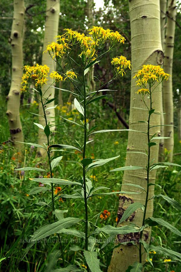 serrated ragwort (sawtooth groundsel) (Senecio serra) [Forest Road 160, Uinta-Wasatch-Cache National Forest, Utah]