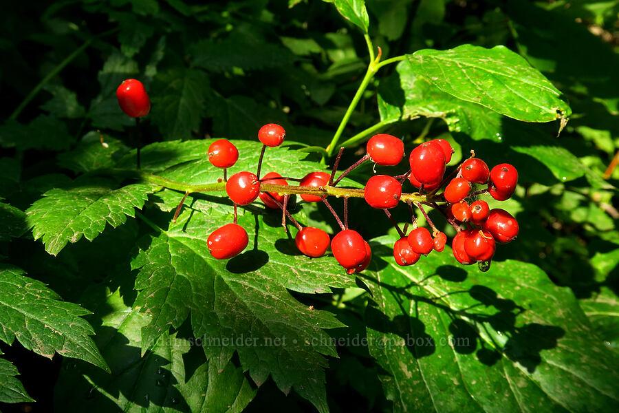 baneberries (Actaea rubra) [Timpooneke Trail, Mount Timpanogos Wilderness, Utah]