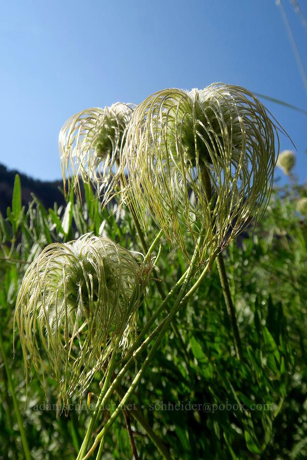 hairy clematis (Clematis hirsutissima) [Timpooneke Trail, Mount Timpanogos Wilderness, Utah]