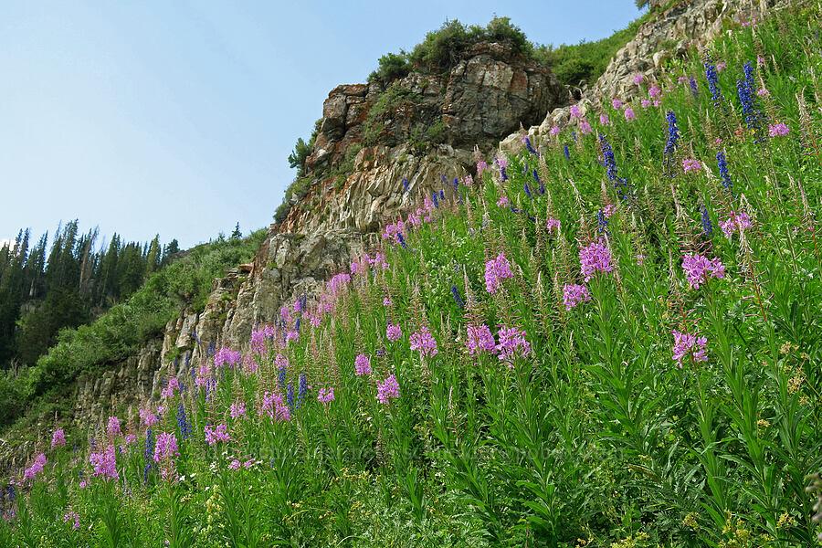 fireweed & larkspur (Chamerion angustifolium (Epilobium angustifolium), Delphinium sp.) [Timpooneke Trail, Mount Timpanogos Wilderness, Utah]