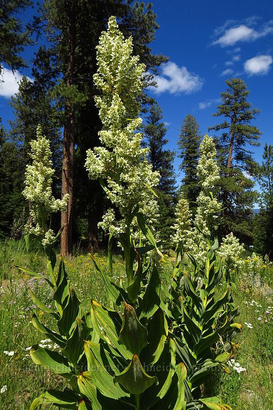 California corn lily (Veratrum californicum) [Baneberry Trailhead, Ochoco National Forest, Oregon]