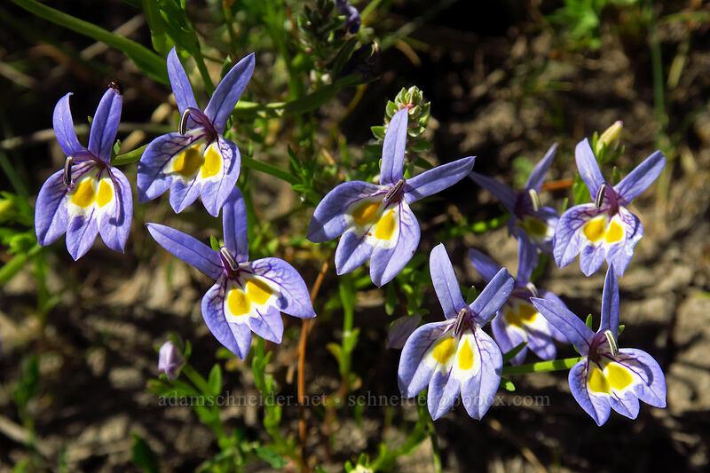 Bach's calico-flower (Downingia bacigalupii) [Big Summit Prairie, Ochoco National Forest, Oregon]