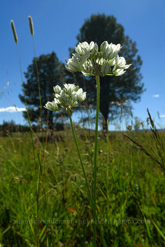 white brodiaea (wild hyacinth) (Triteleia hyacinthina) [Big Summit Prairie, Ochoco National Forest, Oregon]