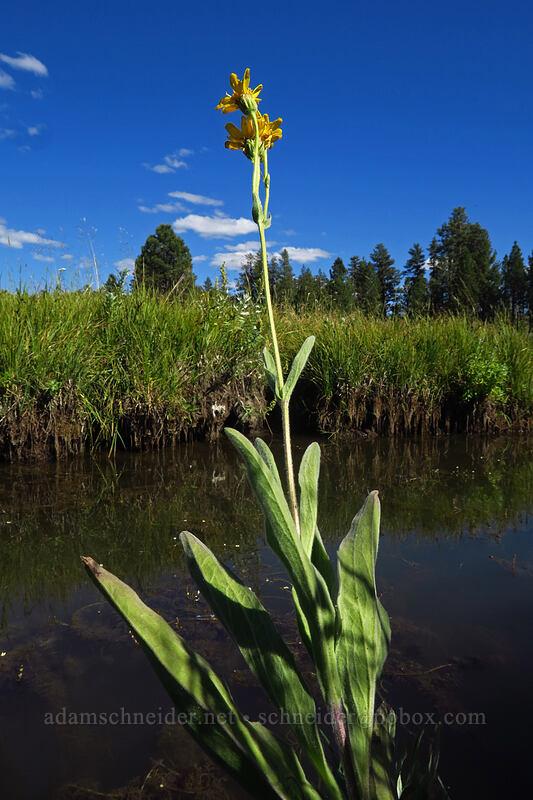 meadow arnica (Arnica chamissonis) [Big Summit Prairie, Ochoco National Forest, Oregon]
