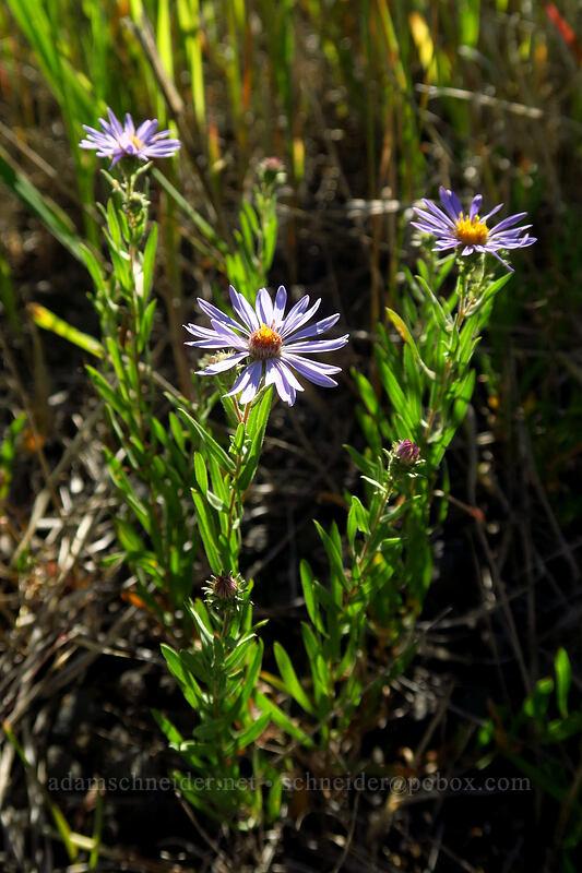 leafy-bract aster (Symphyotrichum foliaceum (Aster foliaceus)) [Big Summit Prairie, Ochoco National Forest, Oregon]