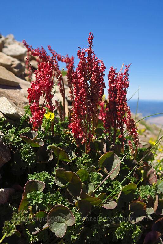 alpine mountain-sorrel (Oxyria digyna) [Summit Trail, Strawberry Mountain Wilderness, Oregon]