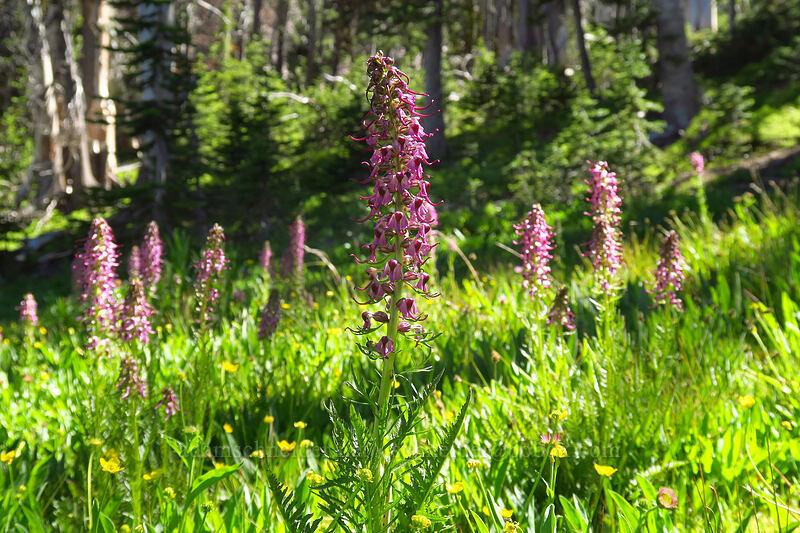 elephant's-head lousewort (Pedicularis groenlandica) [Strawberry Basin Trail, Strawberry Mountain Wilderness, Oregon]