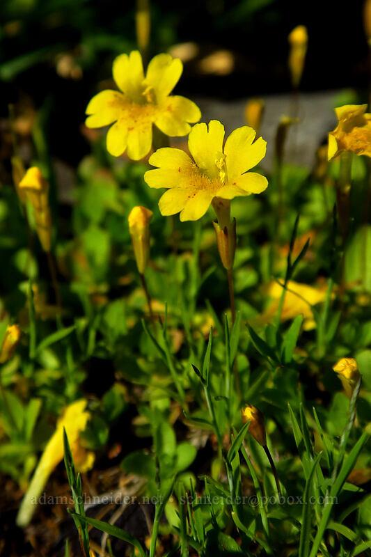 primrose monkeyflower (Erythranthe primuloides (Mimulus primuloides)) [Little Strawberry Lake, Strawberry Mountain Wilderness, Oregon]