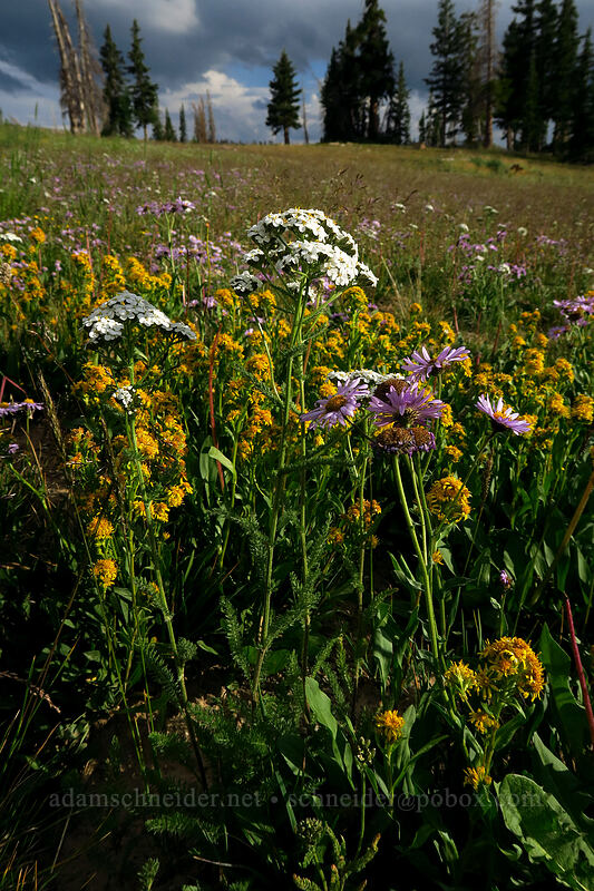 yarrow (Achillea millefolium) [Bald Mountain Trailhead, Uinta-Wasatch-Cache National Forest, Utah]