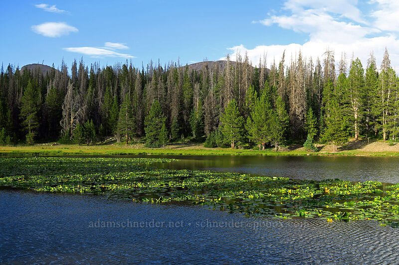 yellow pond-lilies (Nuphar polysepala) [Lilly Lake, Uinta-Wasatch-Cache National Forest, Utah]