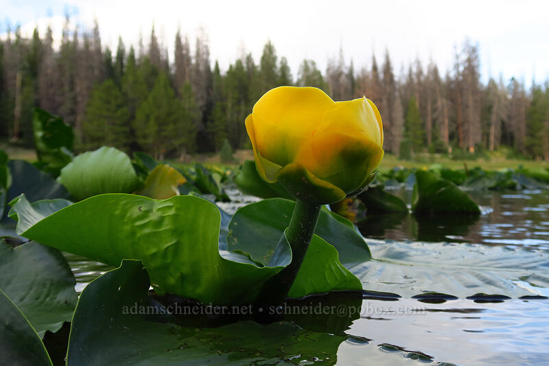 yellow pond-lily (Nuphar polysepala) [Lilly Lake, Uinta-Wasatch-Cache National Forest, Utah]