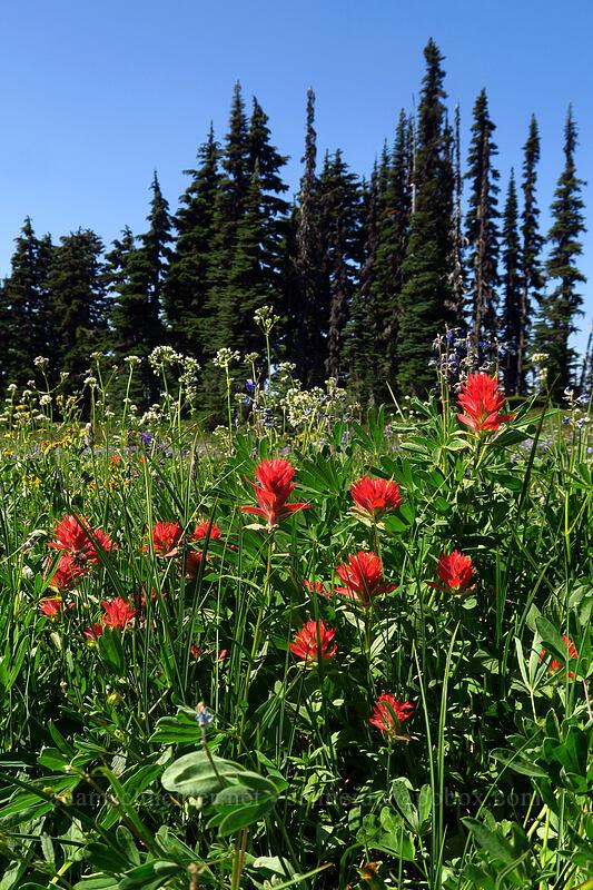 scarlet paintbrush (Castilleja miniata) [Helm Creek/Black Tusk Trail, Garibaldi Provincial Park, British Columbia, Canada]