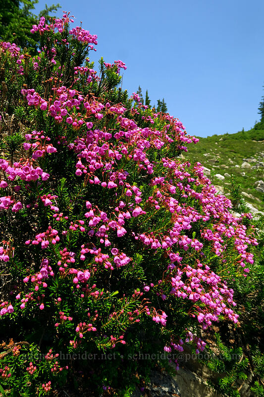pink mountain heather (Phyllodoce empetriformis) [Chain Lakes Trail, Mount Baker-Snoqualmie National Forest, Washington]