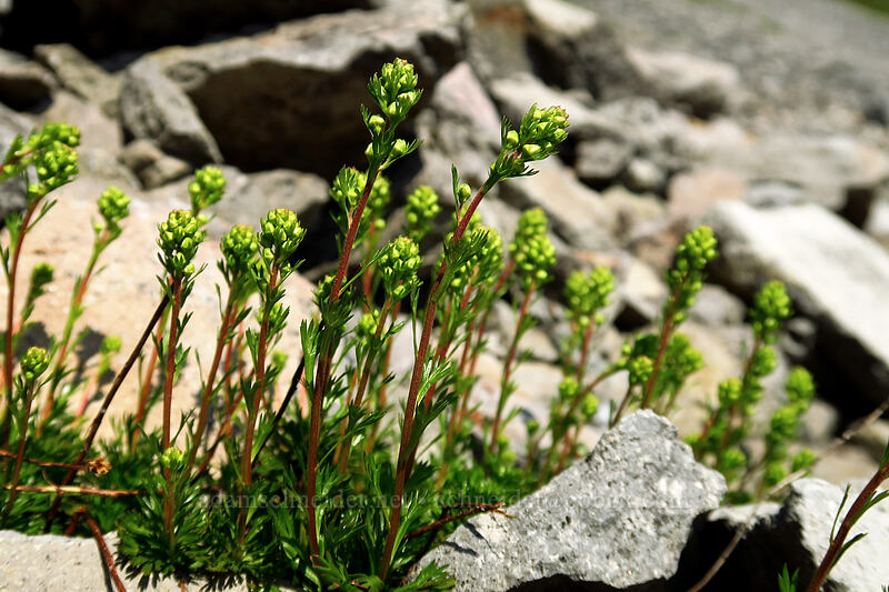 partridgefoot, budding (Luetkea pectinata) [Chain Lakes Trail, Mount Baker Wilderness, Washington]
