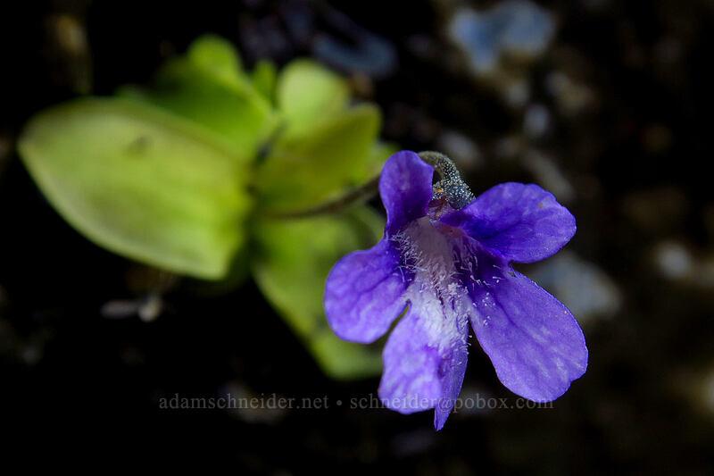 butterwort (Pinguicula vulgaris) [Chain Lakes Trail, Mount Baker-Snoqualmie National Forest, Washington]