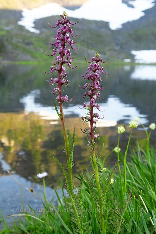 elephant's-head lousewort (Pedicularis groenlandica) [Upper Bagley Lake, Mount Baker-Snoqualmie National Forest, Washington]