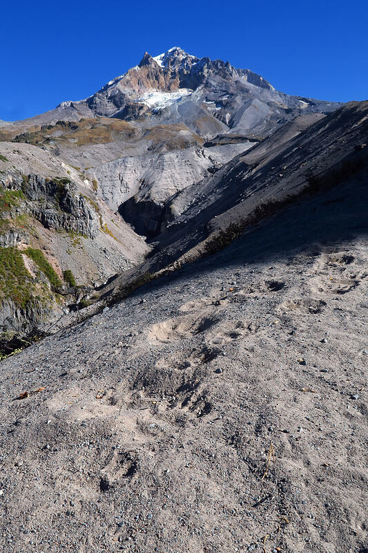 Mount Hood & black bear tracks (Ursus americanus) [Sandy River Canyon rim, Mt. Hood Wilderness, Oregon]