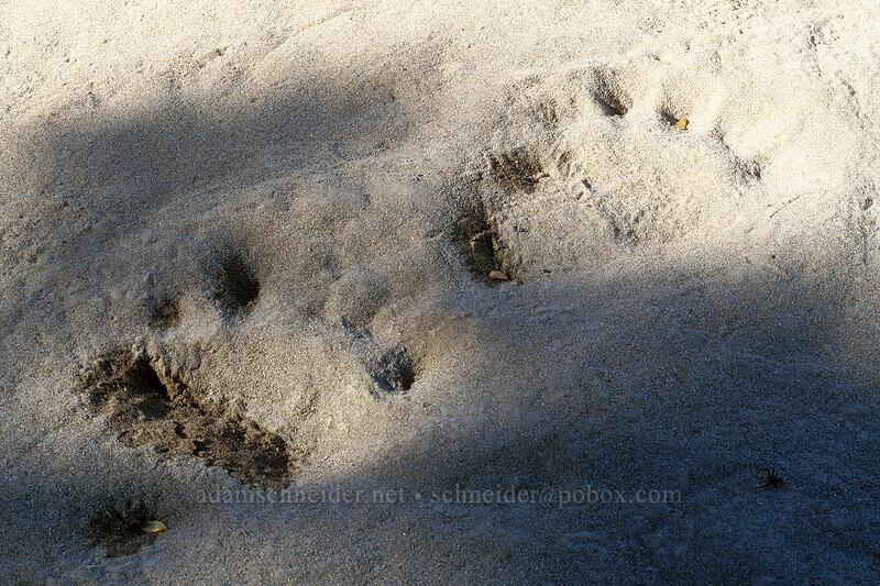 black bear tracks (Ursus americanus) [Sandy River Canyon rim, Mt. Hood Wilderness, Oregon]