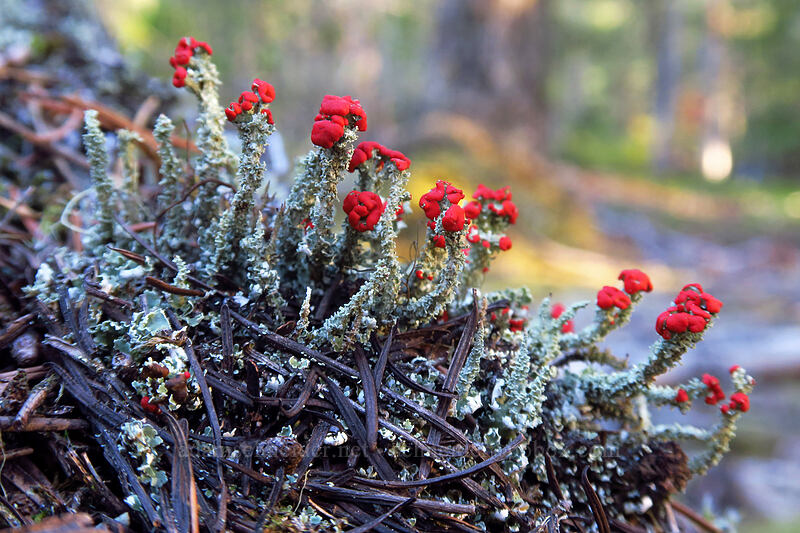 red-topped cup lichen (Cladonia sp.) [Sandy River Trail, Mt. Hood National Forest, Oregon]