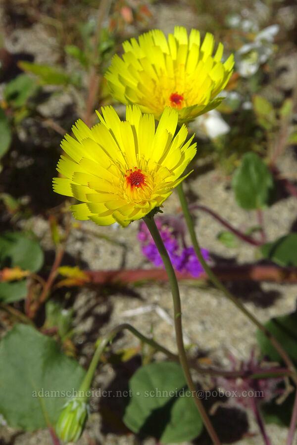 desert dandelion (Malacothrix glabrata) [Coyote Canyon Road, Anza-Borrego Desert State Park, California]