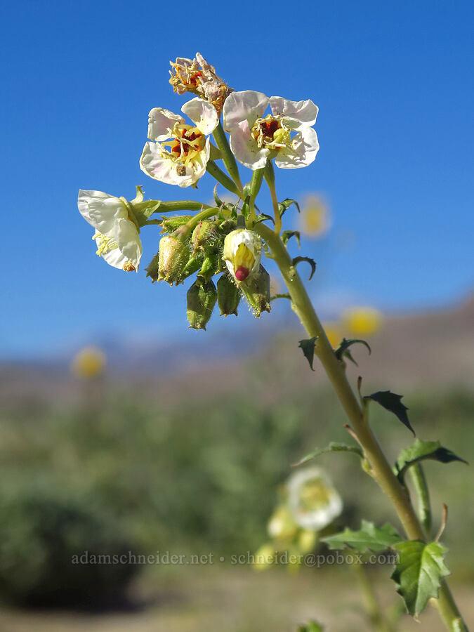 brown-eyed primrose (Chylismia claviformis (Camissonia claviformis)) [east of Coyote Canyon Road, Anza-Borrego Desert State Park, California]