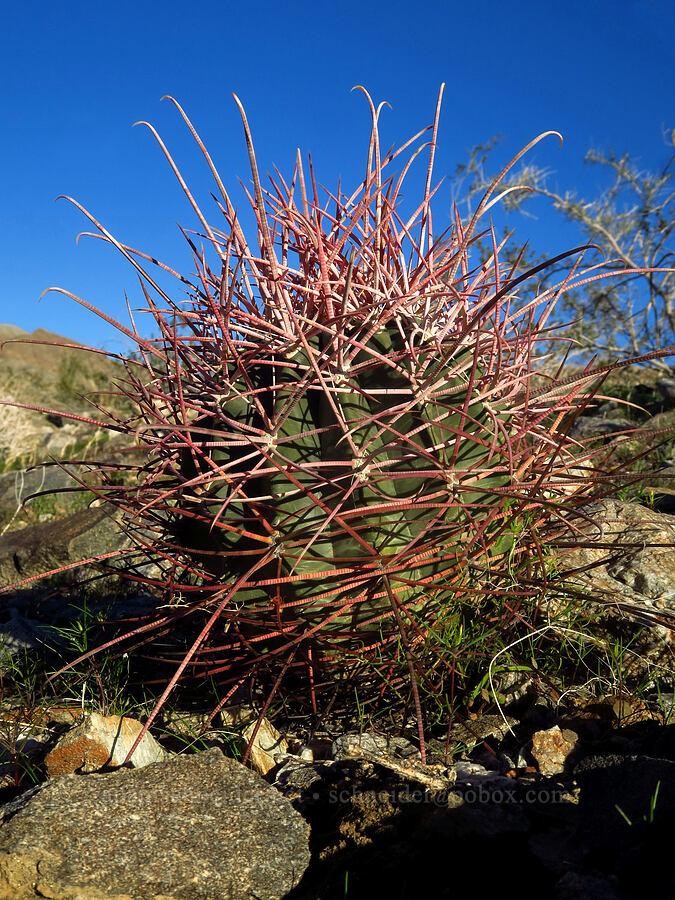 California barrel cactus (Ferocactus cylindraceus) [Villager Peak Trail, Anza-Borrego Desert State Park, California]