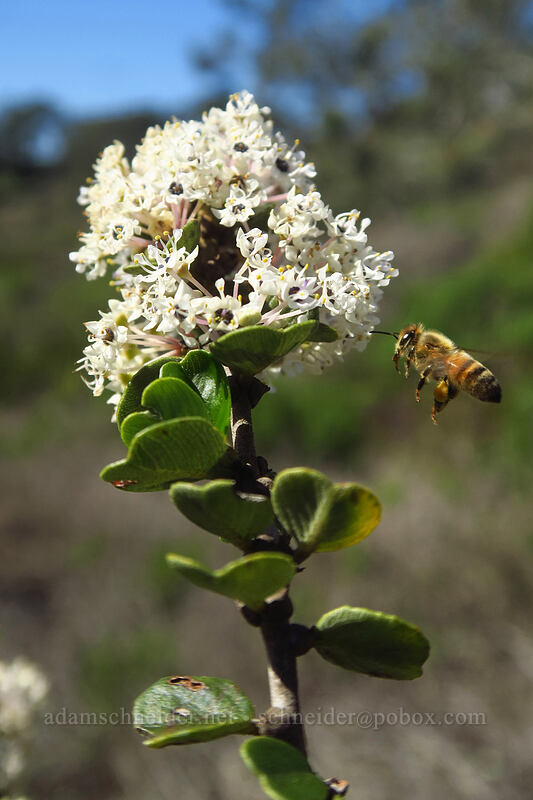wart-stem ceanothus (and a honeybee) (Ceanothus verrucosus, Apis mellifera) [Torrey Pines State Natural Reserve Extension, San Diego, California]