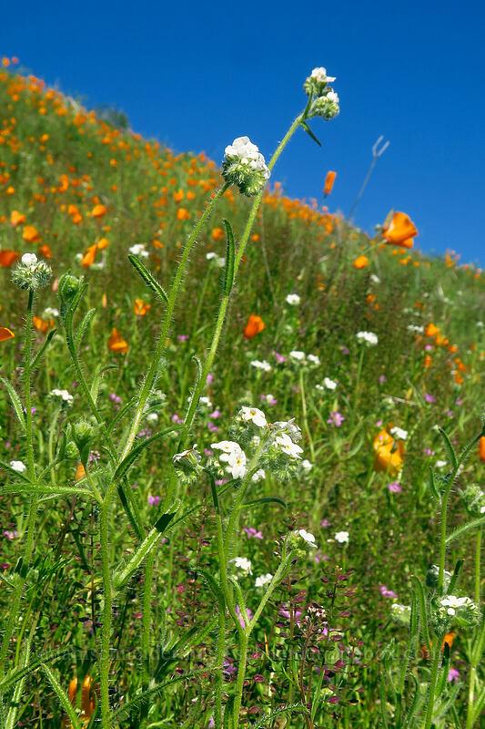 cryptantha & California poppies (Cryptantha intermedia, Eschscholzia californica) [Mission Trails Regional Park, San Diego, California]