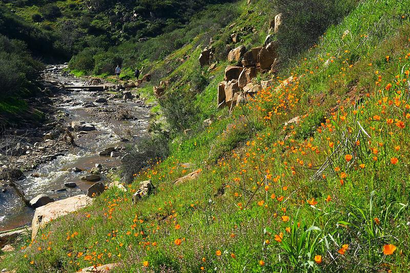 California poppies & Oak Canyon Creek (Eschscholzia californica) [Mission Trails Regional Park, San Diego, California]