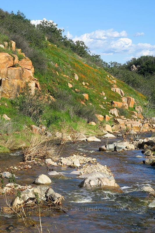 poppies above Oak Canyon Creek (Eschscholzia californica) [Mission Trails Regional Park, San Diego, California]