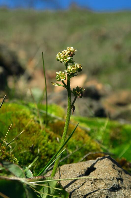 northwestern saxifrage (Saxifraga integrifolia) [Doug's Beach State Park, Klickitat County, Washington]