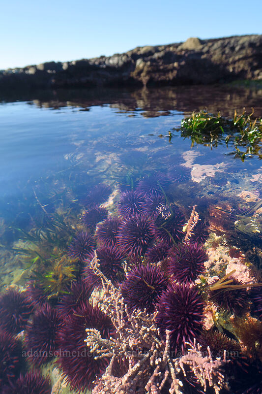 purple sea urchins (Strongylocentrotus purpuratus) [Boiler Bay Research Reserve, Lincoln County, Oregon]