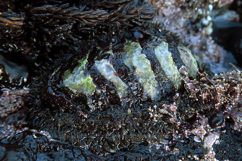 mossy chiton (Mopalia muscosa) [Boiler Bay Research Reserve, Lincoln County, Oregon]