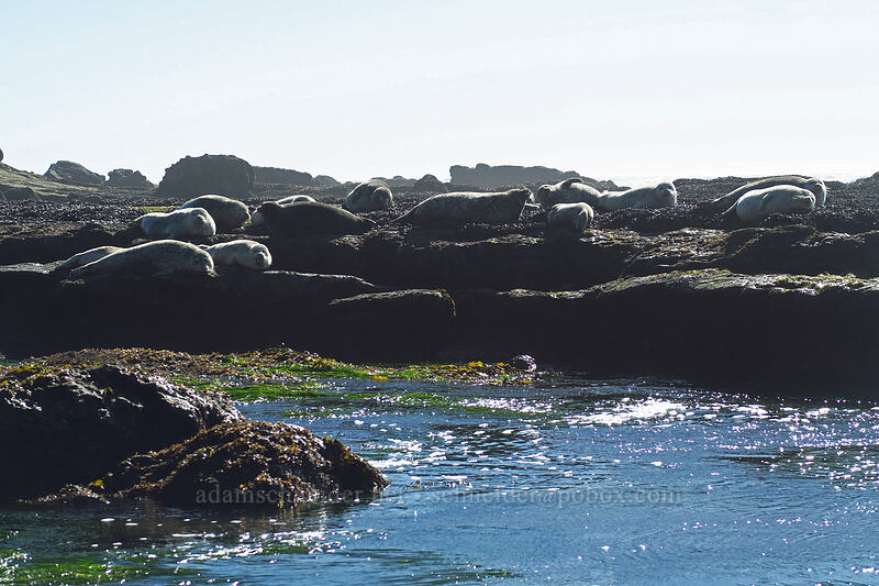 harbor seals (Phoca vitulina) [Otter Rock Marine Garden, Otter Rock, Oregon]