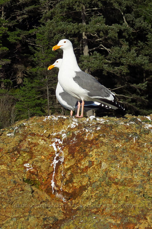 western gulls (Larus occidentalis) [Boiler Bay, Lincoln County, Oregon]