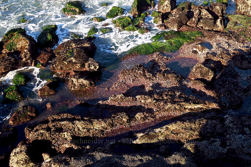 urchin beds [Boiler Bay Research Reserve, Lincoln County, Oregon]