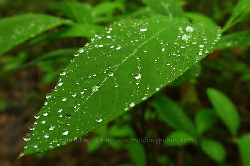 raindrops on an osoberry leaf (Oemleria cerasiformis) [Camassia Natural Area, West Linn, Oregon]