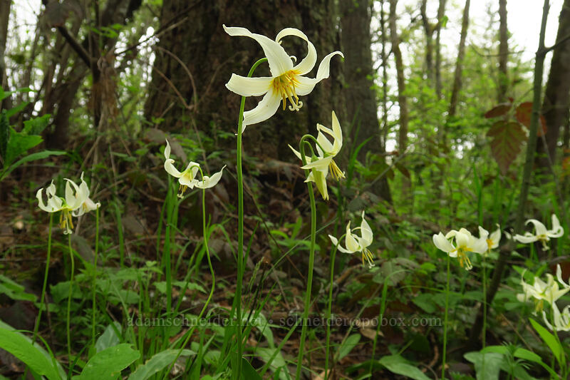 Oregon fawn lilies (Erythronium oregonum) [Camassia Natural Area, West Linn, Oregon]