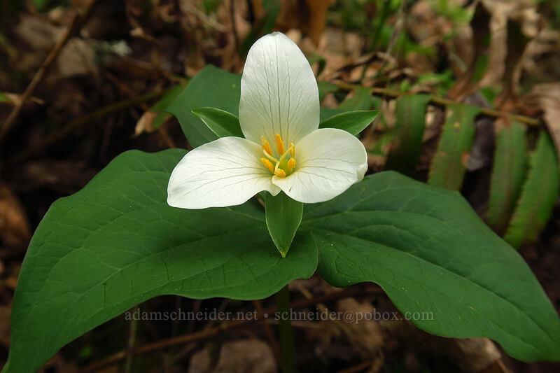 western trillium (Trillium ovatum) [Camassia Natural Area, West Linn, Oregon]