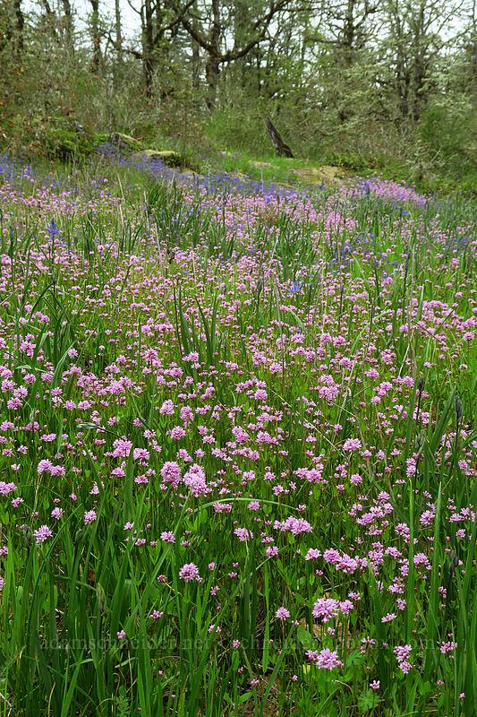 rosy plectritis & camas (Plectritis congesta, Camassia quamash) [Camassia Natural Area, West Linn, Oregon]
