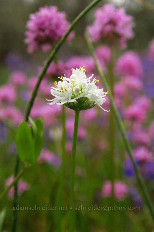 rosy plectritis, white form (Plectritis congesta) [Camassia Natural Area, West Linn, Oregon]