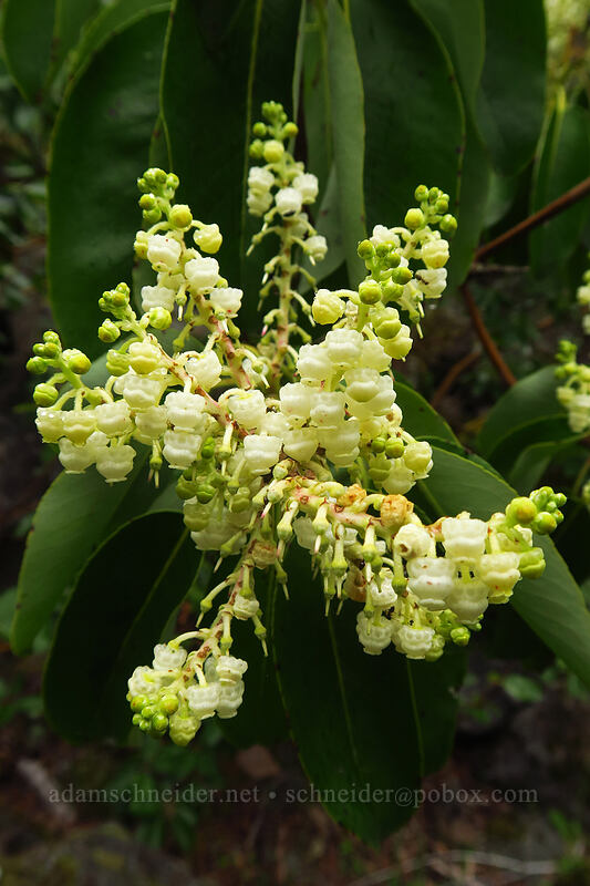 Pacific madrone flowers (Arbutus menziesii) [Camassia Natural Area, West Linn, Oregon]