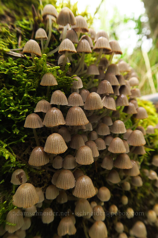 mushrooms (Coprinellus sp.) [Camassia Natural Area, West Linn, Oregon]