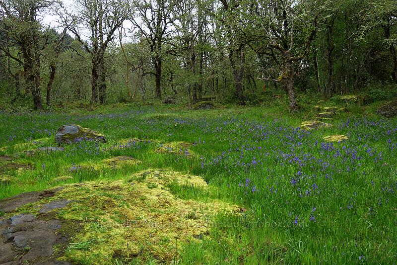 camas meadow (Camassia quamash) [Camassia Natural Area, West Linn, Oregon]