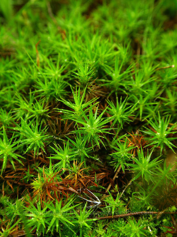 moss [Camassia Natural Area, West Linn, Oregon]