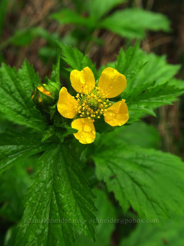 large-leaf avens (Geum macrophyllum) [Camassia Natural Area, West Linn, Oregon]