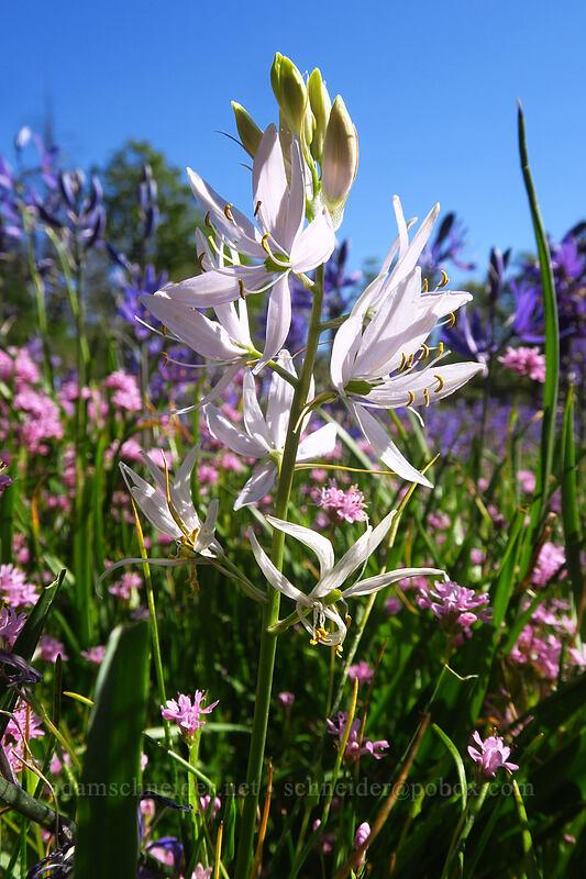 white camas (Camassia quamash) [Camassia Natural Area, West Linn, Oregon]
